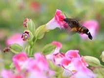 Lepidottero di colibrì Immagine Stock