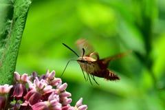 Lepidottero di colibrì Fotografia Stock