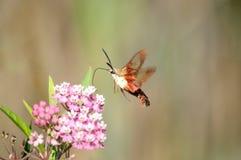 Lepidottero di colibrì che raccoglie nettare Fotografia Stock Libera da Diritti