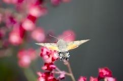 Lepidottero di colibrì di Clearwing dello Snowberry Fotografie Stock Libere da Diritti