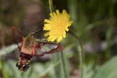 Lepidottero di colibrì di Clearwing - thysbe di hemaris Fotografie Stock Libere da Diritti