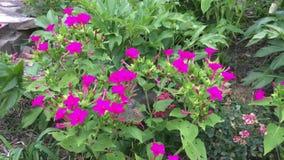 Lepidottero di colibrì, lepidotteri, speci di Hemaris stock footage