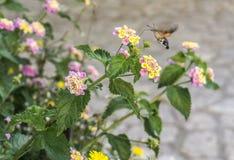 Lepidottero di colibrì sui fiori della lantana Fotografia Stock