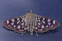 Lepidottero di Crambit fotografia stock libera da diritti
