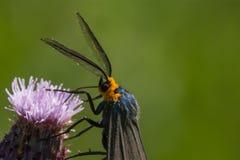 Lepidottero di ctenucha della Virginia Fotografia Stock