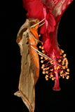 Lepidottero di falco Fotografia Stock Libera da Diritti