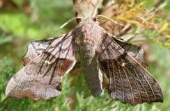 Lepidottero di falco Brown Immagini Stock Libere da Diritti