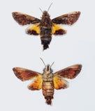 Lepidottero di falco del colibrì Fotografia Stock Libera da Diritti