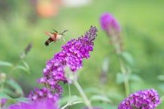 Lepidottero di falco del colibrì sul cespuglio di farfalla porpora fotografia stock