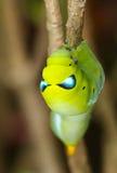 lepidottero di falco dell'oleandro Fotografia Stock Libera da Diritti