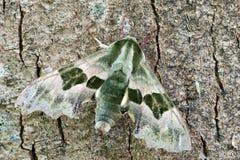 Lepidottero di falco della calce fotografia stock