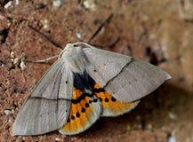 Lepidottero di Gary e dell'arancia Immagini Stock Libere da Diritti