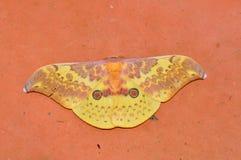 Lepidottero di imperatore di Frith dalla Tailandia Fotografia Stock