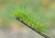 Lepidottero di Io Caterpillar Immagini Stock
