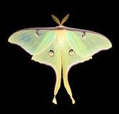Lepidottero di Luna, Actias luna Fotografie Stock