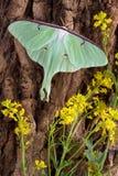Lepidottero di Luna sull'albero Fotografia Stock Libera da Diritti