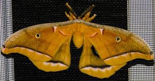 Lepidottero di notte fotografia stock