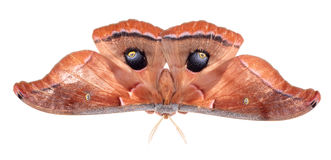 Lepidottero di Polyphemus Fotografia Stock