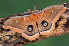 Lepidottero di Polyphemus Fotografie Stock Libere da Diritti