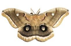 Lepidottero di Polyphemus Fotografia Stock Libera da Diritti