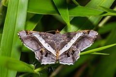 Lepidottero di Semiothisa Eleonora Fotografia Stock Libera da Diritti