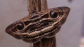 Lepidottero di seta Fotografia Stock