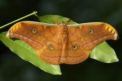 Lepidottero di seta di Tussar Fotografie Stock Libere da Diritti
