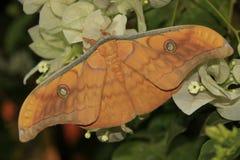 Lepidottero di seta (frithi del Antheraea) sui fiori Immagini Stock Libere da Diritti
