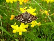 Lepidottero di Shipton della madre immagine stock