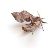 Lepidottero di Sphinx Fotografia Stock