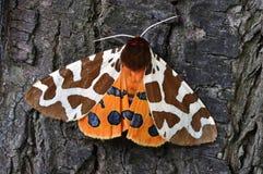 Lepidottero di tigre Fotografia Stock