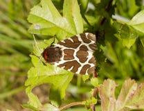 Lepidottero di tigre del giardino sul foglio Fotografia Stock Libera da Diritti
