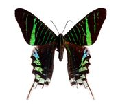 Lepidottero di Urania fotografia stock