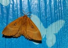 Lepidottero a disposizione, bella farfalla di notte su una mano femminile su un fondo blu Immagini Stock Libere da Diritti