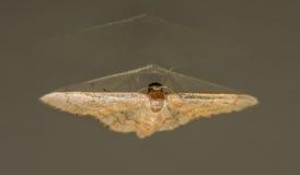 Lepidottero dorato e doppia riflessione fuori da vetro Immagine Stock Libera da Diritti