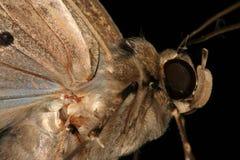 Lepidottero durante il volo Fotografie Stock Libere da Diritti