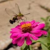 lepidottero e fiore di ronzio   Immagine Stock Libera da Diritti
