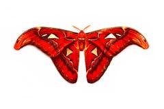 Lepidottero, farfalla nel mezzo della notte Immagine Stock