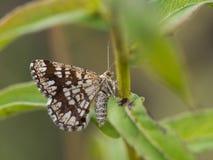 Lepidottero femminile ingraticciato di clathrata di Chiasmia della brughiera che si siede su una pianta immagini stock libere da diritti