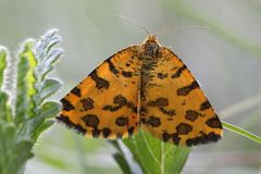 Lepidottero giallo macchiato Fotografie Stock