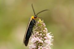lepidottero Giallo-messo un colletto di Scape (fulvicollis di Cisseps) Fotografia Stock Libera da Diritti