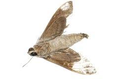 Lepidottero guasto Fotografia Stock Libera da Diritti