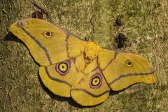 Lepidottero - krucki di Nudaurelia Immagine Stock