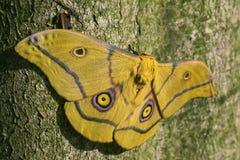 Lepidottero - krucki di Nudaurelia Fotografie Stock Libere da Diritti