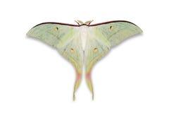 Lepidottero lepidottero della luna o di Luna indiano dell'indiano Immagini Stock