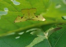 Lepidottero (lepidottero di geometrid) Immagine Stock Libera da Diritti