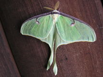 Lepidottero lunare fotografia stock libera da diritti