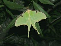 Lepidottero lunare immagine stock libera da diritti