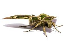 Lepidottero (nerii di Daphnis) sullo schermo bianco Fotografia Stock