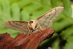 Lepidottero ondeggiato del riband Immagini Stock Libere da Diritti